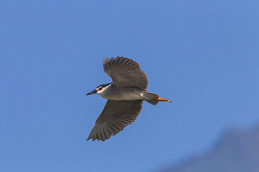 Black crowned night Heron flying at Lake Kerkini Northern Greece  -  David Hosking/ FLPA