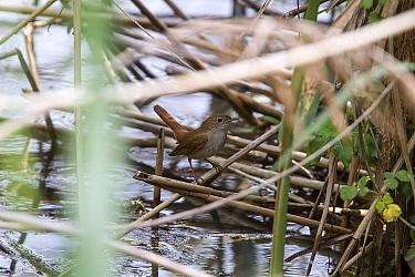 Nightingale on reeds near water  -  David Hosking/ FLPA