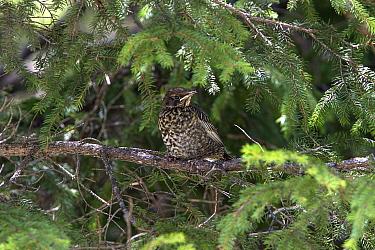Newly fledged Ring Ouzel chick  -  David Hosking/ FLPA