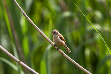 Juvenile Penduline Tit on reed., Bulgaria  -  David Hosking/ FLPA