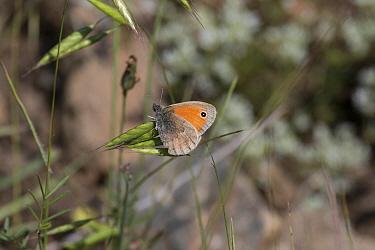 Small Heath Butterfly  -  David Hosking/ FLPA