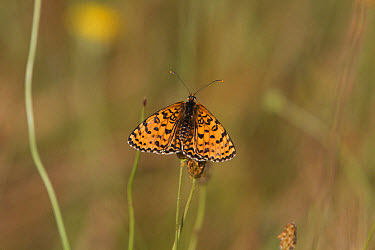 Knapweed Fritillary, male. Easten Europe, Bulgaria Melitaea phoebe punica  -  David Hosking/ FLPA