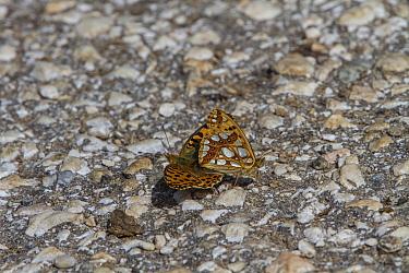 Queen of Spain Fritillaries mating, Bulgaria  -  David Hosking/ FLPA
