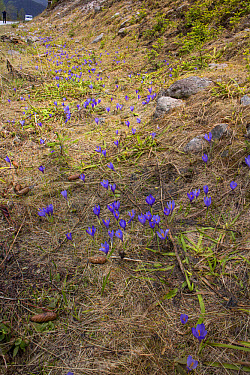 Purple Crocus growing in the mountains of Bulgaria  -  David Hosking/ FLPA