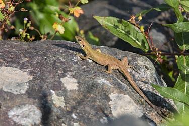 Balken Green Lizard  -  David Hosking/ FLPA