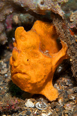 Painted Frogfish (Antennarius pictus) adult, on black sand, Lembeh Straits, Sulawesi, Sunda Islands, Indonesia, June  -  Colin Marshall/ FLPA