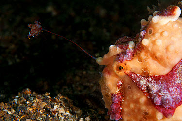 Warty Frogfish (Antennarius maculatus) adult, close-up of head, using lure to attract prey, on black sand, Lembeh Straits, Sulawesi, Sunda Islands, Indonesia, June  -  Colin Marshall/ FLPA