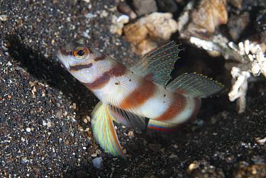 Diagonal Shrimpgoby (Amblyeleotris diagonalis) adult, at hole entrance on black sand, Lembeh Straits, Sulawesi, Sunda Islands, Indonesia, June  -  Colin Marshall/ FLPA