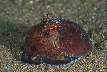 Veined Octopus (Amphioctopus marginatus) adult, on black sand, Lembeh Straits, Sulawesi, Sunda Islands, Indonesia, June  -  Colin Marshall/ FLPA