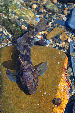 Rock Goby (Gobius paganellus) adult, in rockpool, Falmouth, Cornwall, England, February  -  Jack Perks/ FLPA