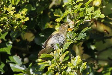 Chiffchaff sunning itself in hawthorn tree  -  David Hosking/ FLPA