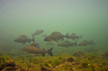 Grayling (Thymallus thymallus) adults, shoal swimming in river, River Derwent, Derbyshire, England, September  -  Jack Perks/ FLPA