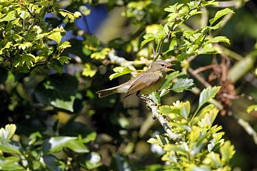 Chiffchaff calling in hawthorn tree  -  David Hosking/ FLPA