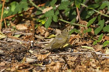 Chiffchaff (Phylloscopus collybita) on woodland leaf litter  -  David Hosking/ FLPA