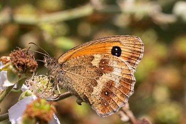 Gatekeeper Butterfly on bramble, Female, July, Suffolk  -  David Hosking/ FLPA