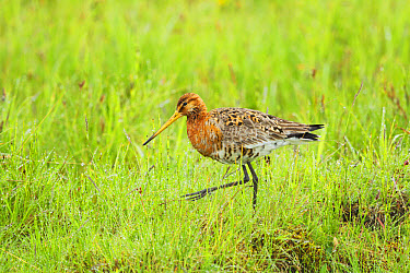 Black-tailed Godwit (Limosa limosa) adult, breeding plumage, foraging in wet meadow, Iceland, June  -  Bill Coster/ FLPA