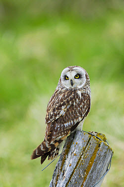 Short-eared Owl (Asio flammeus) adult, perched on post, Iceland, June  -  Bill Coster/ FLPA