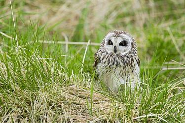 Short-eared Owl (Asio flammeus) adult, standing in long grass, Iceland, June  -  Bill Coster/ FLPA