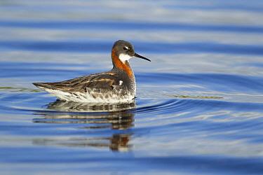 Red-necked Phalarope (Phalaropus lobatus) adult female, breeding plumage, swimming on lake, Lake Myvatn, Iceland, June  -  Bill Coster/ FLPA