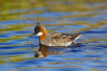 Red-necked Phalarope (Phalaropus lobatus) adult female, breeding plumage, feeding on insect, swimming on lake, Lake Myvatn, Iceland, June  -  Bill Coster/ FLPA