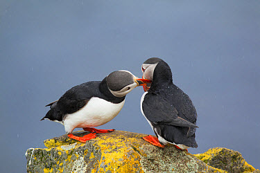 Atlantic Puffin (Fratercula arctica) adult pair, breeding plumage, 'bill fencing' courtship behaviour, standing on lichen covered rock during rainfall, Latrabjarg, Iceland, June  -  Bill Coster/ FLPA