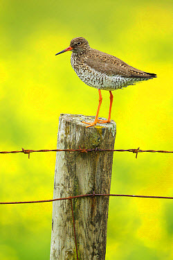 Common Redshank (Tringa totanus) adult, breeding plumage, standing on fencepost with flowering buttercup meadow in background, Iceland, June  -  Bill Coster/ FLPA