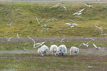 Arctic Tern (Sterna paradisea) adults, breeding plumage, flock, in flight, attacking sheep at nesting ground, Iceland, June  -  Bill Coster/ FLPA