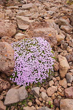 Moss Campion (Silene acaulis) flowering, clump growing amongst rocks, Iceland, June  -  Bill Coster/ FLPA
