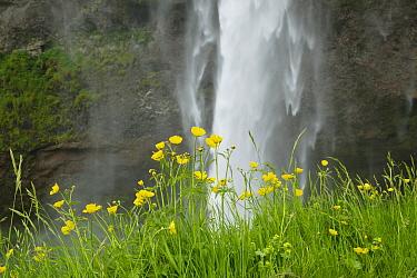 Meadow Buttercup (Ranunculus acris) flowering, growing beside waterfall, Seljalandsfoss Waterfall, Iceland, June  -  Bill Coster/ FLPA