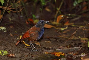 Brown-winged Whistling-thrush (Myophonus castaneus) adult male, standing on forest floor, Kerinci Seblat National Park, Sumatra, Greater Sunda Islands, Indonesia, June  -  Neil Bowman/ FLPA