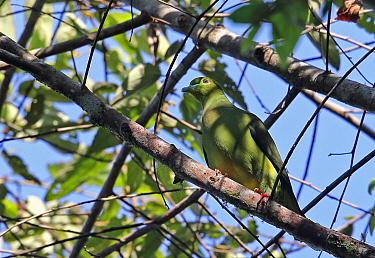 Sumatran Green-pigeon (Treron oxyurus) adult, perched on branch, Kerinci Seblat National Park, Sumatra, Greater Sunda Islands, Indonesia, June  -  Neil Bowman/ FLPA