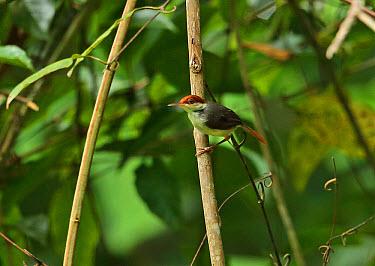 Rufous-tailed Tailorbird (Orthotomus sericeus hesperius) adult, perched on stem, Way Kambas National Park, Lampung Province, Sumatra, Greater Sunda Islands, Indonesia, June  -  Neil Bowman/ FLPA