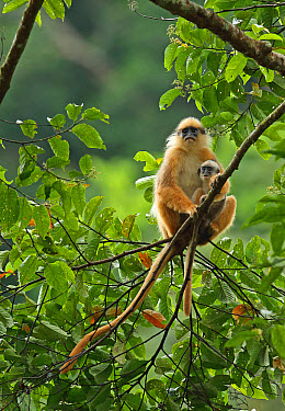 Sumatran Surili (Presbytis melalophos) adult female with baby, sitting on branch, Kerinci Seblat National Park, Sumatra, Greater Sunda Islands, Indonesia, June  -  Neil Bowman/ FLPA