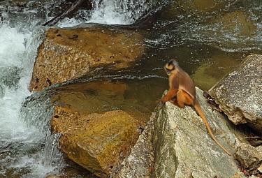 Sumatran Surili (Presbytis melalophos) adult, sitting on rock beside river, Kerinci Seblat National Park, Sumatra, Greater Sunda Islands, Indonesia, June  -  Neil Bowman/ FLPA
