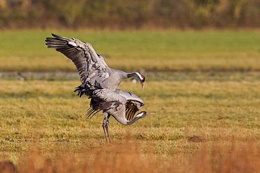 Common Crane (Grus grus) adult pair, mating, with coloured leg bands, Slimbridge, Gloucestershire, England, January  -  Dickie Duckett/ FLPA