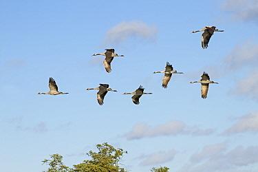Common Crane (Grus grus) seven adults, in flight, Slimbridge, Gloucestershire, England, October  -  Dickie Duckett/ FLPA
