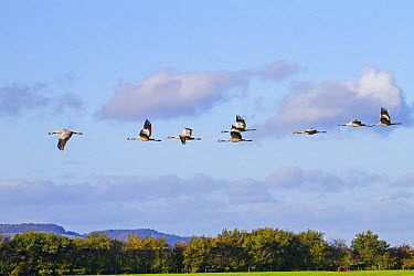 Common Crane (Grus grus) eight adults, in flight, Slimbridge, Gloucestershire, England, October  -  Dickie Duckett/ FLPA