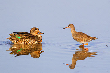 Common Teal (Anas crecca) adult female, and Common Redshank (Tringa totanus) adult, non-breeding plumage, in water with reflections, Norfolk, England, September  -  Dickie Duckett/ FLPA
