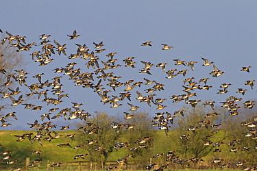 Eurasian Wigeon (Anas penelope) flock, in flight, Slimbridge, Gloucestershire, England, February  -  Dickie Duckett/ FLPA