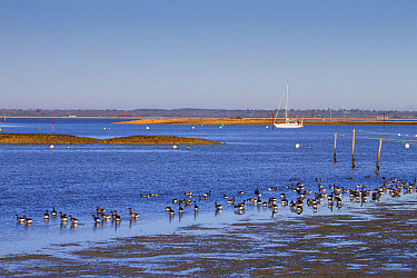 Brent Goose (Branta bernicla) flock, feeding on mudflats in estuary habitat, Newtown, Isle of Wight, England, December  -  Dickie Duckett/ FLPA