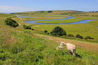 Domestic Sheep, flock, grazing on hillside overlooking meandering river in coastal floodplain, River Cuckmere, Seven Sisters Country Park, Cuckmere Haven, East Sussex, England, June  -  John Watkins/ FLPA