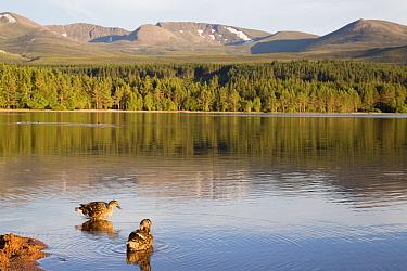 Mallard Duck (Anas platyrhynchos) two adult females, standing at edge of freshwater loch habitat, Loch Morlich, Badenoch and Strathspey, Cairngorms National Park, Highlands, Scotland, July  -  Bernd Rohrschneider/ FLPA