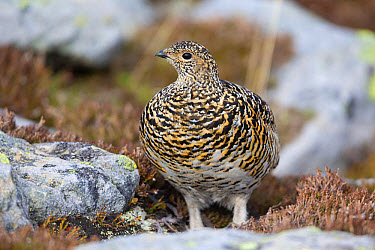 Rock Ptarmigan (Lagopus muta) adult female, summer plumage, standing amongst rocks, Niederhorn, Swiss Alps, Bernese Oberland, Switzerland, June  -  Bernd Rohrschneider/ FLPA