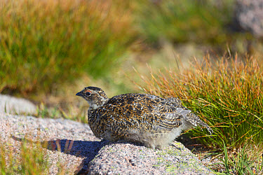 Rock Ptarmigan (Lagopus muta) juvenile, sitting on rock, Cairngorms National Park, Highlands, Scotland, July  -  Bernd Rohrschneider/ FLPA