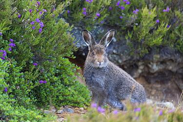 Mountain Hare (Lepus timidus) adult, summer coat, sitting amongst heather, Lochindorb, Strathspey, Morayshire, Highlands, Scotland, July  -  Bernd Rohrschneider/ FLPA