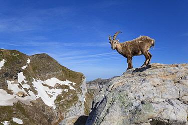 Alpine Ibex (Capra ibex) adult male, standing on rocks in mountain habitat, Niederhorn, Swiss Alps, Bernese Oberland, Switzerland, June  -  Bernd Rohrschneider/ FLPA