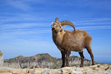 Alpine Ibex (Capra ibex) adult male, scratching back with horn, standing on rocks, Niederhorn, Swiss Alps, Bernese Oberland, Switzerland, June  -  Bernd Rohrschneider/ FLPA