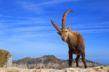 Alpine Ibex (Capra ibex) adult male, standing on rocks, Niederhorn, Swiss Alps, Bernese Oberland, Switzerland, June  -  Bernd Rohrschneider/ FLPA