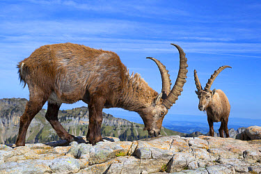 Alpine Ibex (Capra ibex) two adults males, licking minerals from rocks, Niederhorn, Swiss Alps, Bernese Oberland, Switzerland, June  -  Bernd Rohrschneider/ FLPA