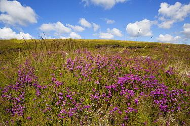 Bell Heather (Erica cinerea) flowering, growing on moorland habitat, Lochindorb, Strathspey, Morayshire, Highlands, Scotland, July  -  Bernd Rohrschneider/ FLPA